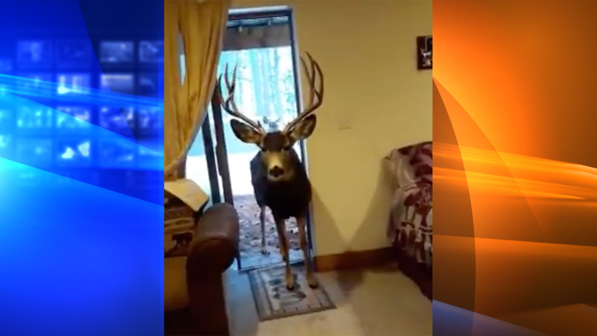 A woman was fined $550 for luring and feeding three deer inside her home, wildlife officials said on Feb. 10, 2020. (Credit: Colorado Parks and Wildlife/Twitter)