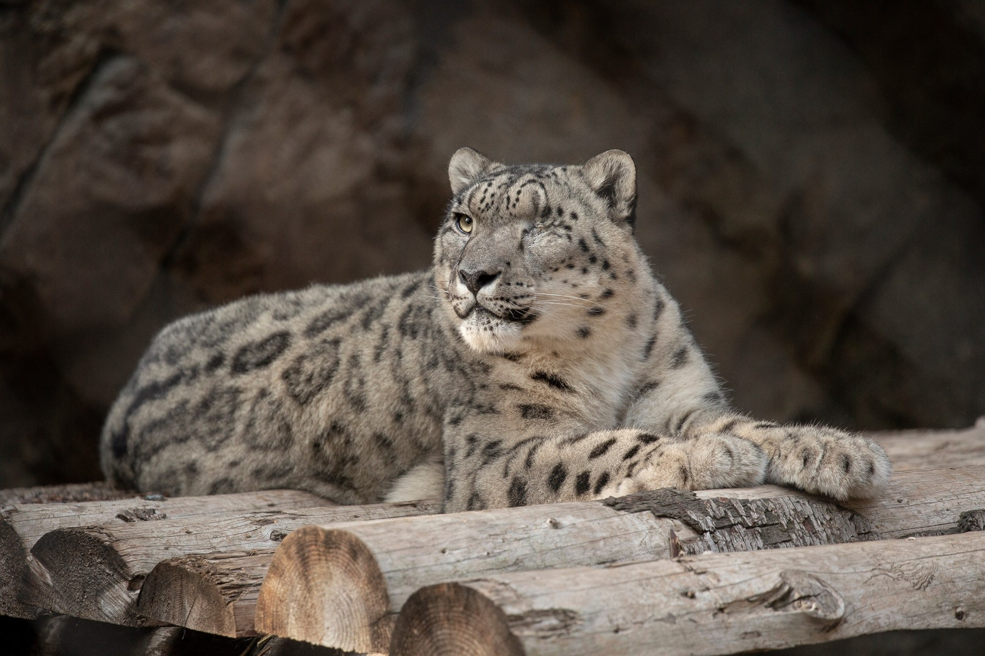 The male snow leopard who is suspected of having the coronavirus is seen in a photo released by the San Diego Zoo.