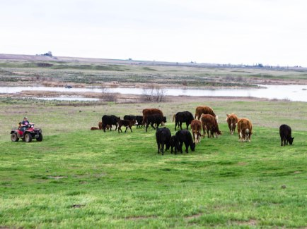 Moving cows out with bulls