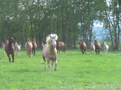 KT Heza Pana Dude with mares