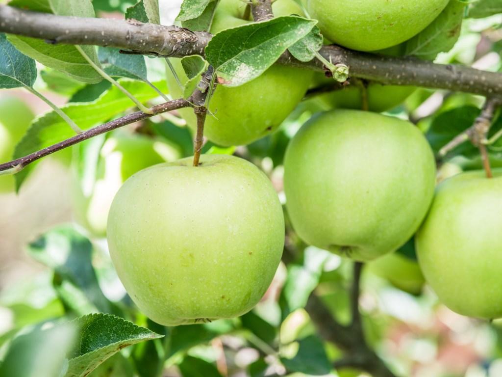 golden delicious apples juice jellies