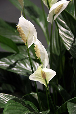 Spathiphyllums blooms