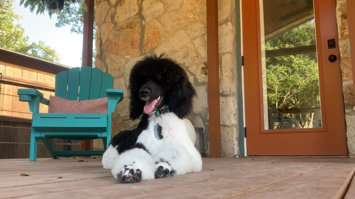 An image of a black and white poodle sitting on a pouch with a blue chair in the background