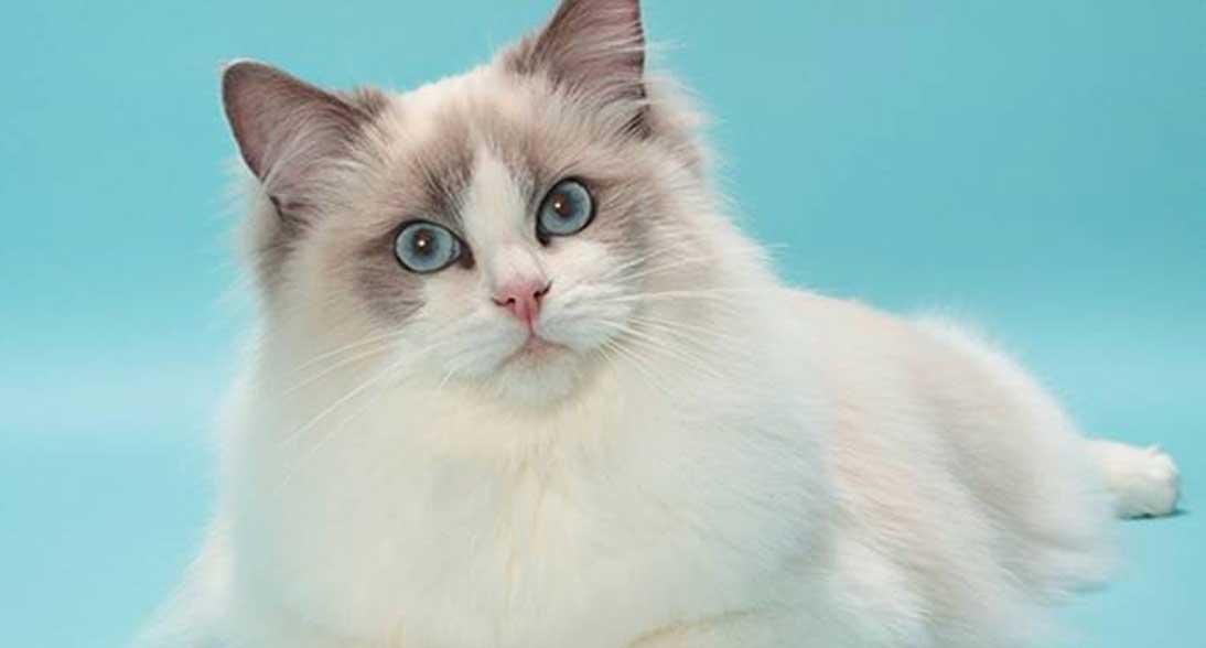 Jenis Jenis Kucing Peliharaan yang Paling Populer di Indonesia