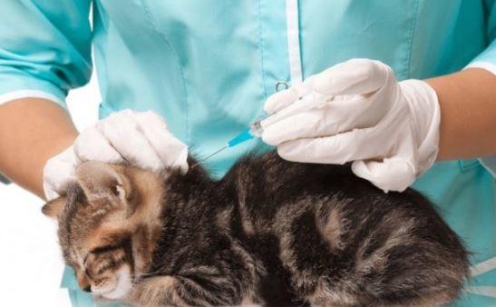 5 Cara Menghilangkan Kutu Kucing Dengan Bersih
