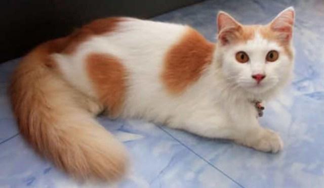 bulu-kucing-anggora 5 Tips Membedakan Kucing Anggora Asli Atau Palsu