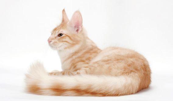 kucing-anggora-campuran-kucing-kampung Harga Kucing Anggora Terbaru 2019