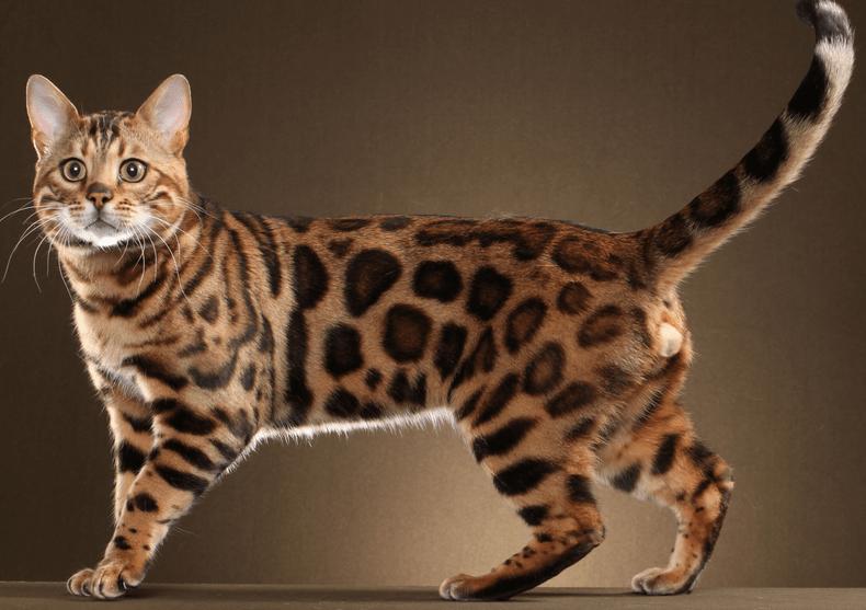 [Panduan Lengkap] Cara Merawat Kucing Bengal 2020