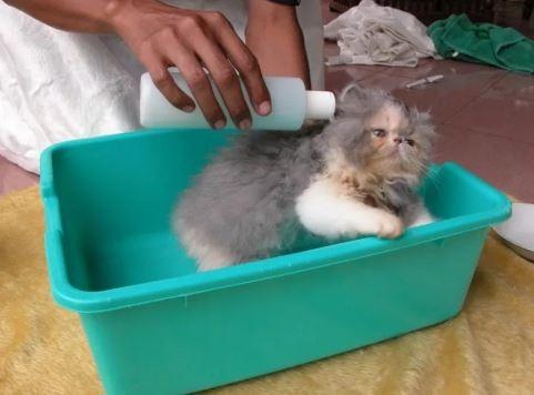 Cara Memandikan Anak Kucing