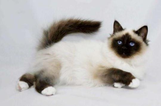 kucing-persia-himalaya Jenis Jenis Kucing Persia