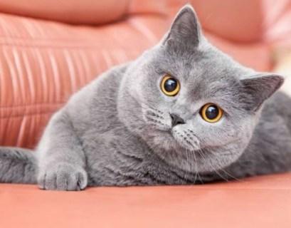 Tips Merawat Kucing British ShortHair