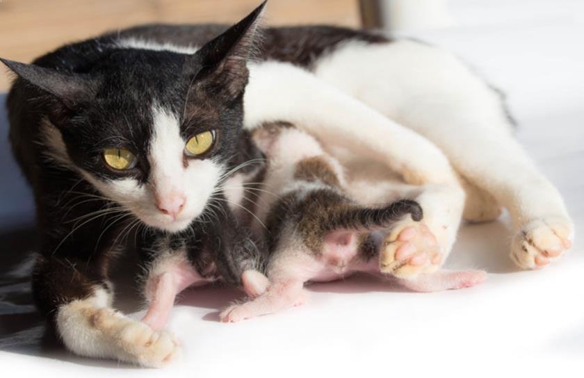 Kenali Ciri-ciri Kucing Mau Melahirkan Sebentar Lagi