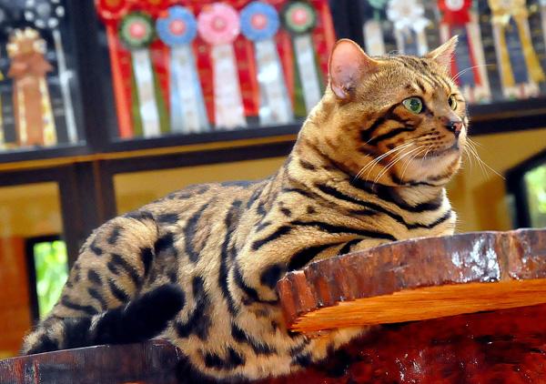 Bengal Cat Muhammadfajarmuharam