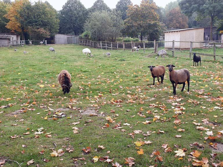 Tierpark Krüzen Schafe