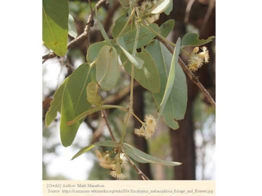 ユーカリ・メラノフロイア 種子