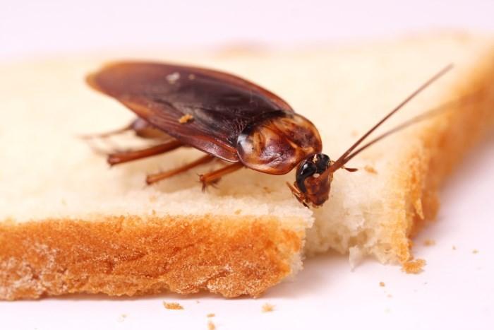 Рыжий таракан на хлебе