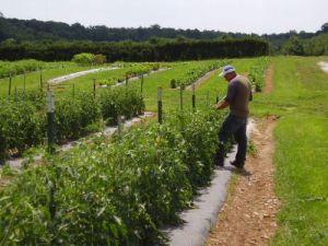 stringing tomatoes