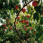 peaches on the tree at our farm