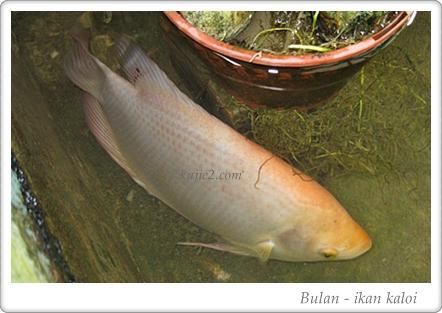 Ikan Patin Mahal, Telur Tiruan Dan Soya Air Liur