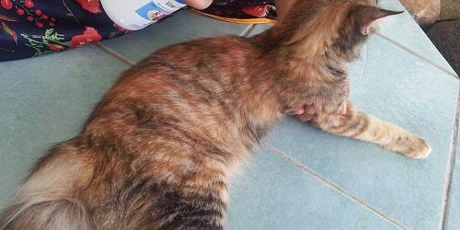 Ubat Kutu Kucing Jenis Spray