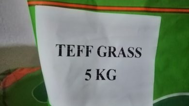Photo of TEFF GRASS