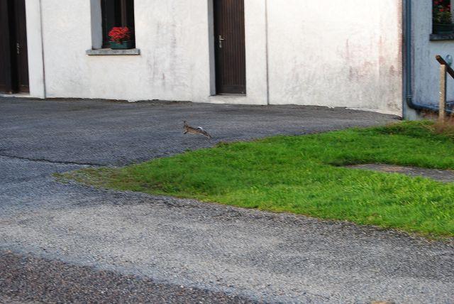 k-38_laufendes Kaninchen