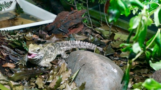 The Wildlife Centre is also home to the tuatara lizard