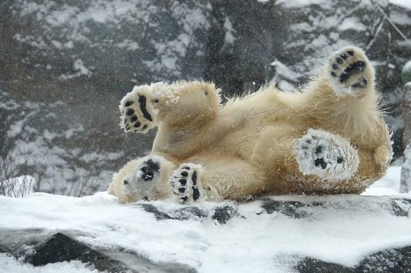 Eisbär im Schnee c) Jutta Kirchner