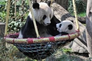 Panda-Mutter Yang Yang und Fu Bao c) Josef Gelernter