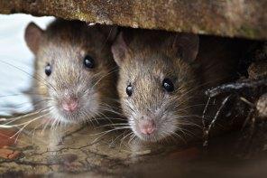 Mäuse c) Gallinago media / shutterstock