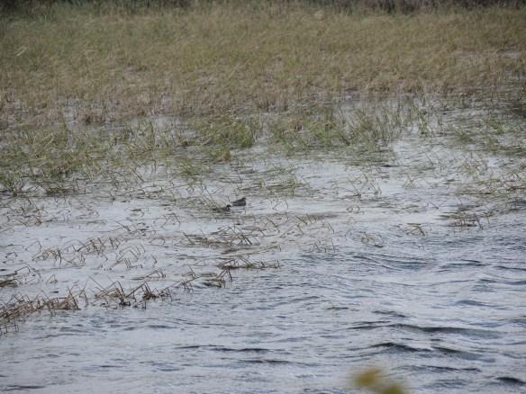 Två smalnäbbade simsnäppor.