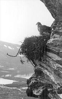 Fjällvråkunge vid Sarvastjåkkå. Foto från Norrbottens museums bildarkiv, acc nr 2000:308. Foto: Th. Arwidsson.