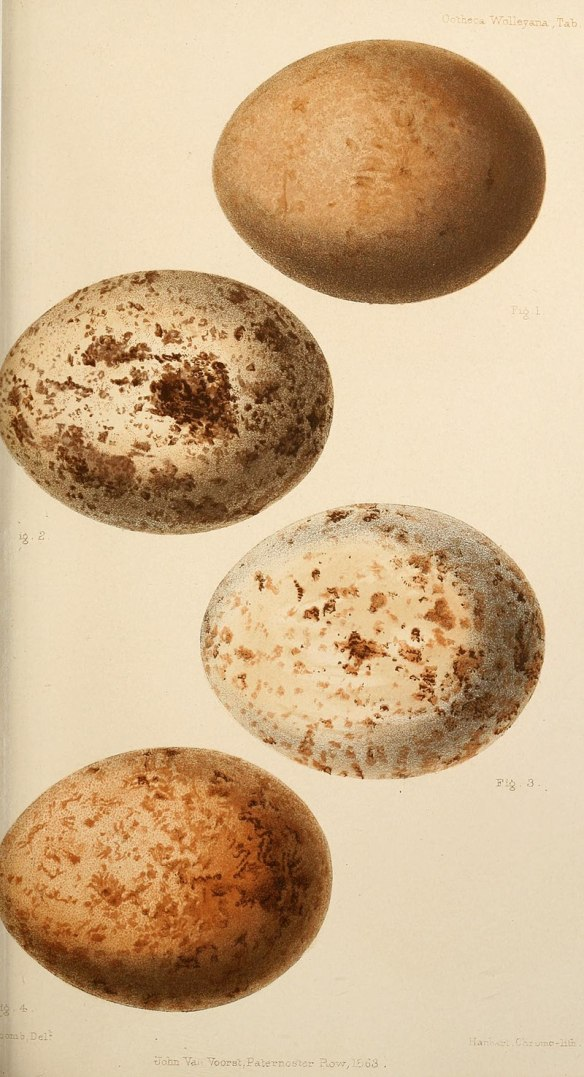 Ootheca_wolleyana_-_an_illustrated_catalogue_of_the_collection_of_birds'_eggs_formed_by_by_the_late_John_Wolley,_Jun__(1864)_(14563599920)