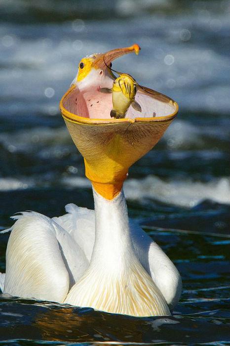 Водоплавающая птица питается в основном крупной рыбой, которую добывает под предводительством вожака.