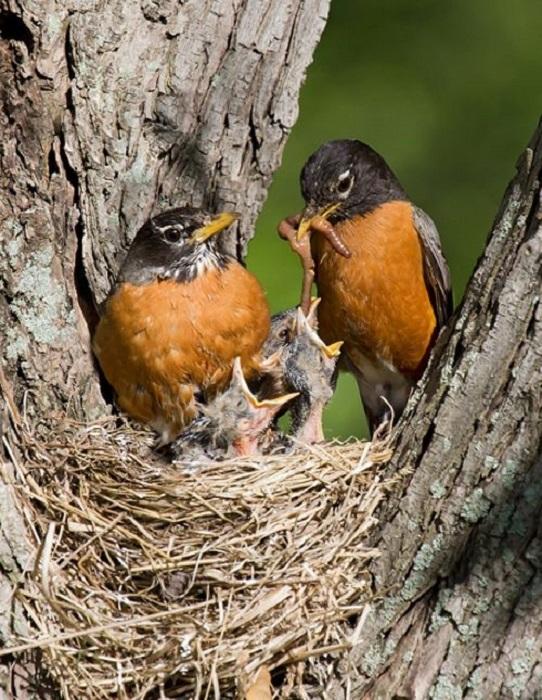 За кормление птенцов у этих птиц отвечают оба родителя, которым приходится вылетать на охоту до 40 раз в день.