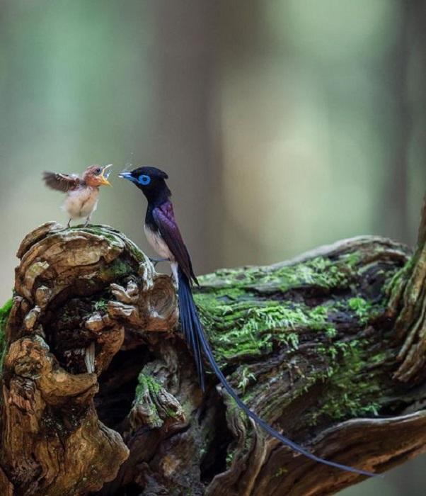 Основной рацион питания удивительной длиннохвостой птички составляют мелкие насекомые.