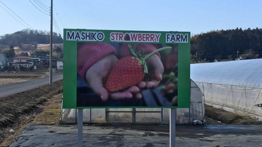 【道の駅ましこにイチゴ狩りがオープン】とてつもなく甘い完熟とちおとめが1時間食べ放題できる?