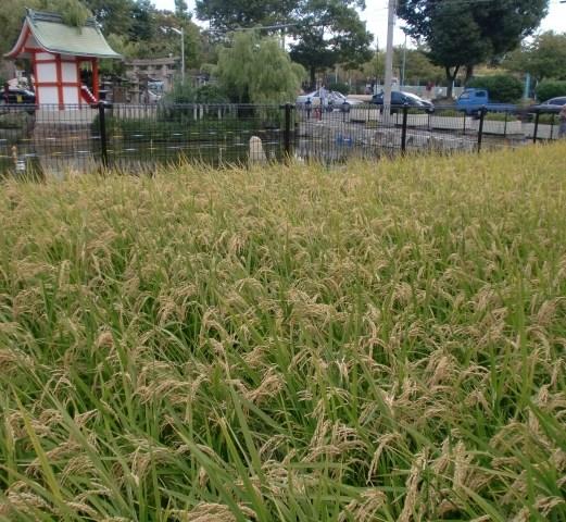 無事に稲が実りました