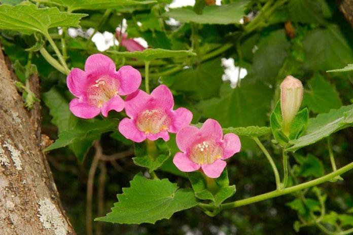 Азарина или Маурандия