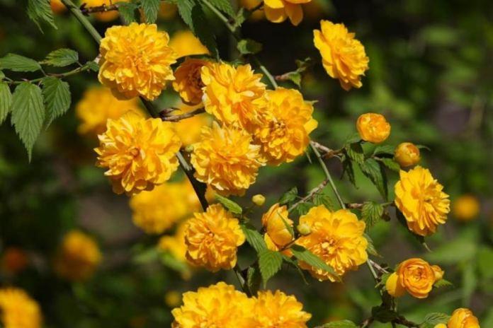 керия японская или пасхальная роза