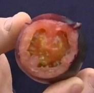 Израильтяне вырастили чёрные помидоры