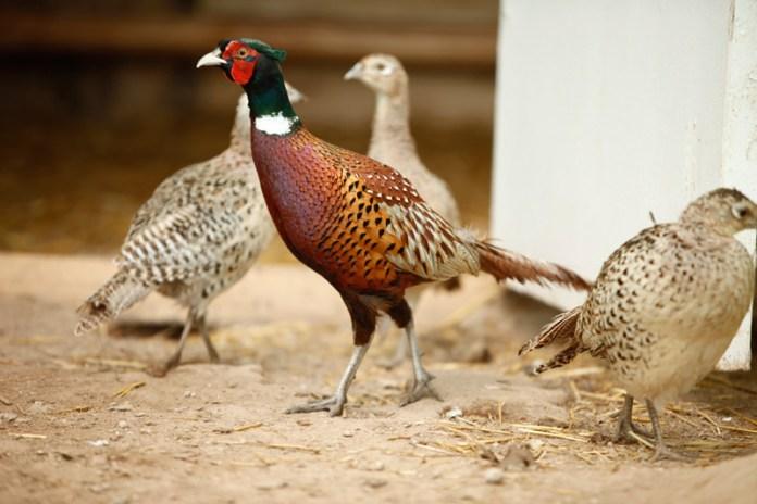 Чем кормят фазанов?