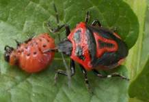 Энтомофаг колорадского жука - клоп периллюс