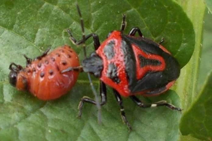 Энтомофаг колорадского жука - клоп пинтеус