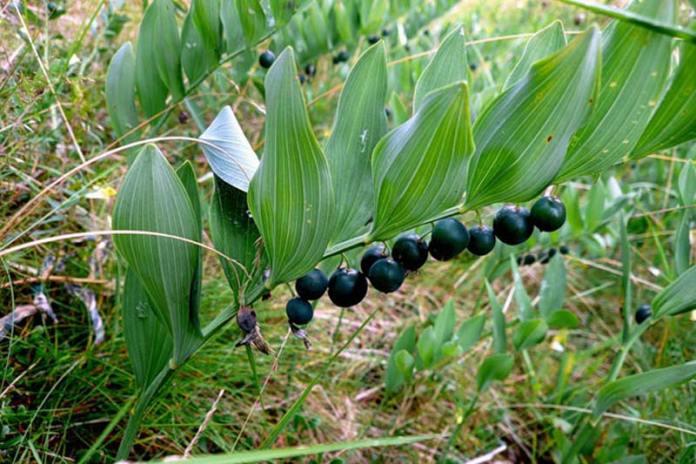 Купена – ядовитое растение и наиболее опасны её ягоды, их называют «вороньи ягоды» за темный окрас