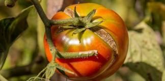 Трескаются томаты