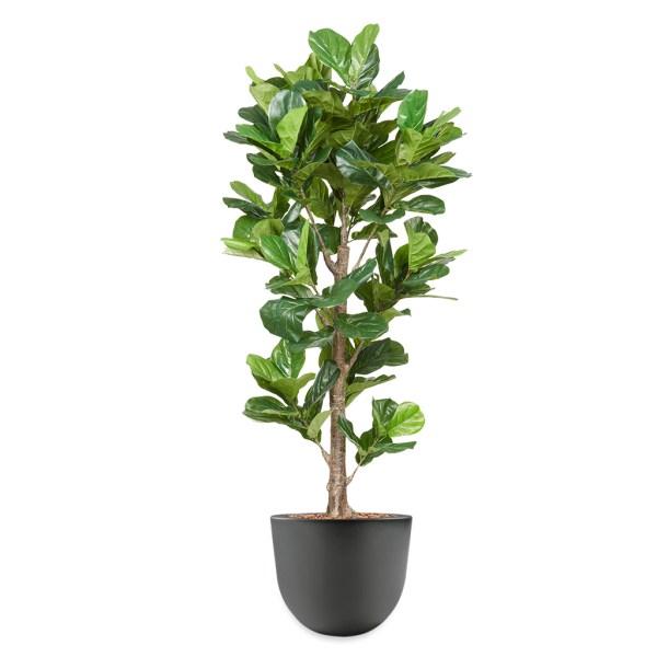 HTT - Kunstplant Ficus Lyrata in Eggy antraciet H200 - kunstplantshop.nl