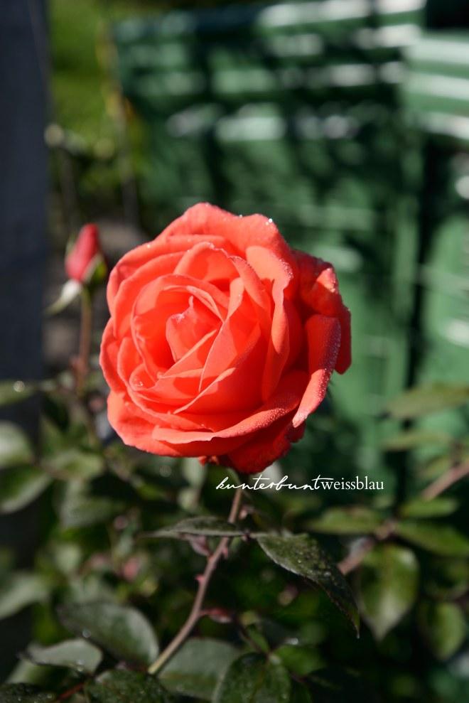 Rosen im Apfelfeld