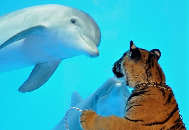dolphin-and-tiger-