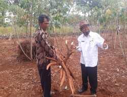 DPP Gunungkidul Targetkan Produksi Ubi Kayu Tahun Ini Mencapai Sembilan Ratus Ribu Ton